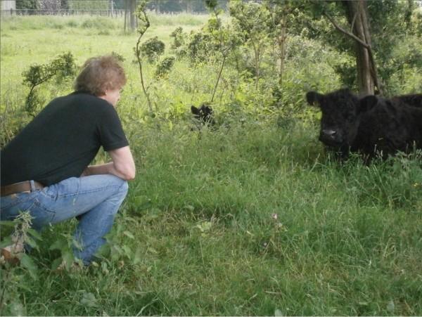 Galloway koeien 10
