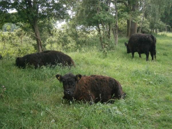 Galloway koeien 12